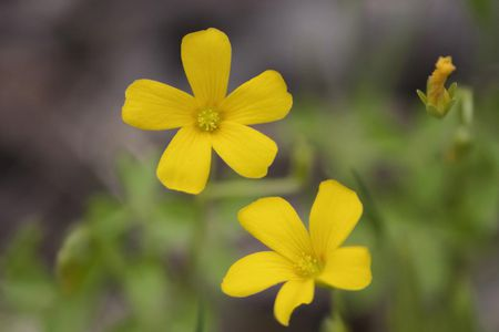 The Yellow Oxalis